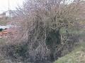 Rosepark Well Elder Tree